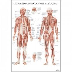 Poster Scientifico Belletti - 67x100 cm - Sistema Muscolare dell'Uomo