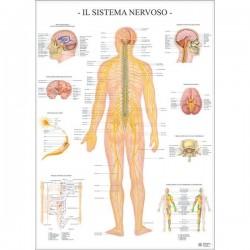 Poster Scientifico Belletti - 67x100 cm - Sistema Nervoso - Compreso di asticelle