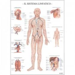 Poster Scientifico Belletti - 67x100 cm - Sistema Linfatico